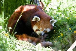 GLOBETROTTERPANDA: Mor ankom Dyreparken i Kristiansand fra en zoo i Sveits for noen m�neder siden. Det er noen uker siden hun ble satt ut, etter en lengre karantene. Foto: Foto: Kristiansand Dyrepark