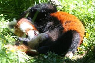 BITTESM�: R�de pandaer f�der s� sm� valper at det er umulig � fysisk se at de er drektige. Foto: Foto: Kristiansand Dyrepark