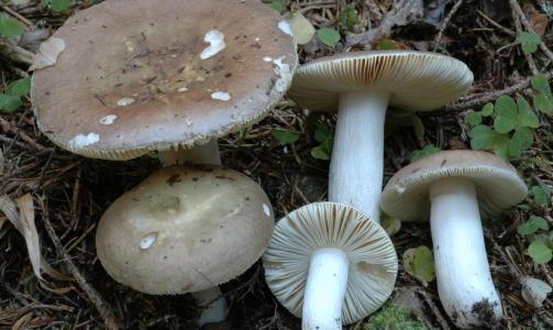 SPISELIG: MANDELKREMLE: R�d eller brun hatt, ofte m�rkere i midten. Lyse skiver p� undersiden. Mottatt fra epost: 08.09.2010