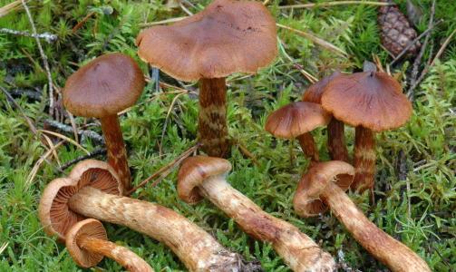GIFTIG: SPISS GIFTSL�RSOPP: Har en hatt som er 5-8 cm i diameter. Den er gulbrun til r�dbrun. Skivene til soppen er r�dbrune, fjernstilte og virker litt tykke. Stilken er av samme farge som hatten, ofte med karakteristiske gule belter.