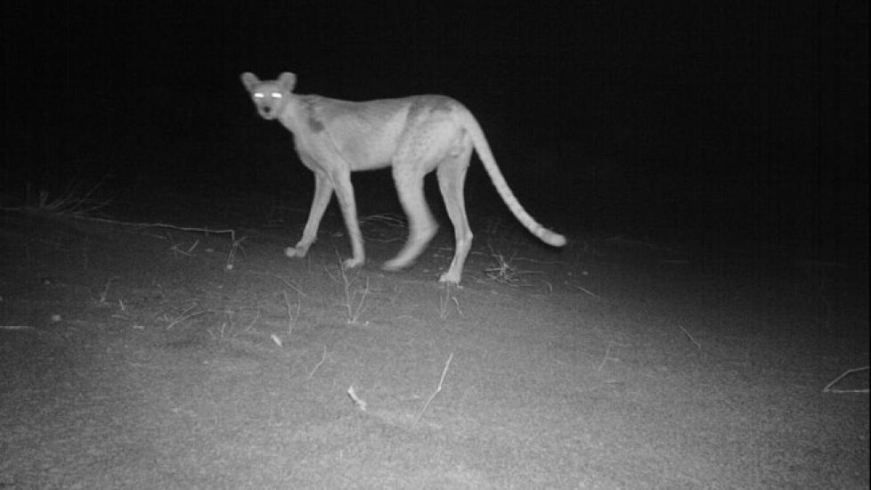 SP�KELSESGEPARDEN: Ved hjelp av en fotofelle har forskere for f�rste gang fotografert en nordafrikansk gepard i det vestafrikanske landet Niger. Det finnes trolig bare rundt 200 individer av arten i hele verden, og dette er en av sv�rt f� bilder som noensinne er tatt tatt av det sjenerte kattedyret. Foto: Sahara Conservation Fund (SCF)