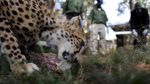 OM NOM NOM: Den nordafrikanske geparden, som forskere har knipset et bilde av i Niger, skiller seg utseendemessig fra de andre gepardartene i Afrika. Dette er �Usain�, oppkalt etter sprintstjernen fra Jamaica, som spiser middag i et dyresenter i Nairobi.  AFP PHOTO / Tony KARUMBA