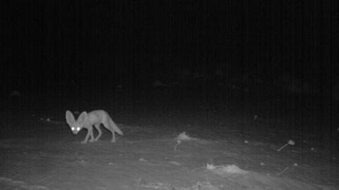 DUMBO-REV: I tillegg til den nordafrikanske geparden, knipset fotofellene utplassert av Saharan Conservation Fund blant annet en ørkenrev som kan skilte med et par imponerende ører. Foto: SCF