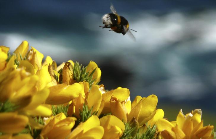AVANSERTE: Bier og humler er sosiale dyr som lever i komplekse samfunn. De er de mest komplekse insektene vi kjenner og �tjenestene� deres har en ansl�tt verdi av 1300 milliarder kroner i �ret p� verdensbasis. Foto: AP