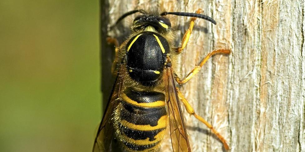 AGGRESSIV: I Norge er det 13 arter stikkeveps, inkludert geithams. Vanligste jordveps (Vespula vulgaris) lager bol av morkent tre. Vespula vulgaris er dessverre de som oftest bygger nær boliger, er mest aggressiv og har sterkest gift. ILLUSTRASJONSFOTO: Colourbox.no
