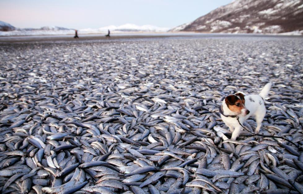 MYSTERIUM: Hvordan, eller hvorfor, titalls tonn død sild plutselig fyller stranda på Kvænes, er det ingen som har noe definitivt svar på. Her Jan-Petter Jørgensens hund Molly på befaring nyttårsaften. Foto: JAN-PETTER JØRGENSEN