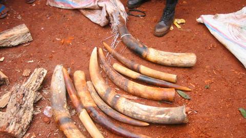 St�ttenner fra afrikanske elefanter konfikskert i Kamerun. Jakt p� elefanter for st�ttenner og kj�tt er ulovlig og ses p� som en av de st�rste trusslene mor arten. Den sentralafrikanske regionen er den st�rste kilden til ulovlig elfenbenhandel. Foto: Peter Ngea / WWF