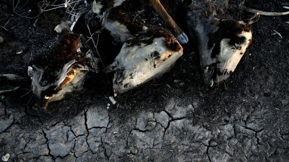 OFRE FOR KLIMAENDRINGER: Tre av omkring 500 kuer som d�de p� en g�rd i Argentina i 2009, grunnet t�rke. Foto: AP/Natacha Pisarenko/Scanpix