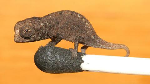 KAMELEONEN MED SVOVELSTIKKENE: Det ekstremt lille dyret kan v�re et resultat av evolusjon�r drivkraft som f�rer til at dyr p� �yer f�r sv�rt sm� kropper, if�lge en artikkel i tidsskriftet Plos One. Foto: Frank Glaw et al.