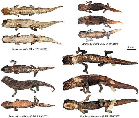 NYOPPDAGET: Det er store formmessige og genetiske variasjoner mellom de nyoppdagede artene, noe som tyder p� at de skilte lag p� livets tre for lenge siden, og har hatt lite genetisk flyt mellom populasjonene. Grafikk: Frank Glaw et. al