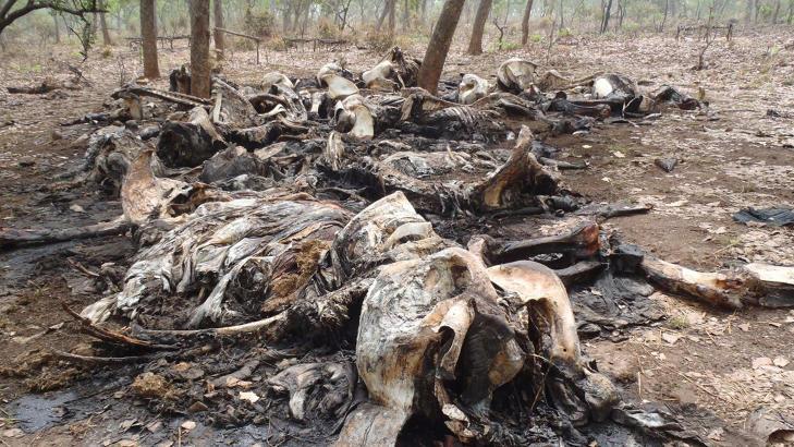 - KRAFTIG �KNING : WWF er bekymret over utviklingen. Her ligger en rekke kadavre i den Kamerunske nasjonalparken Boubou Ndjida National Park. Snikskytterne tar med seg elfenbenet og lar restene ligge igjen og r�tne. Foto: AP Photo/ Boubandjida Safari Lodge