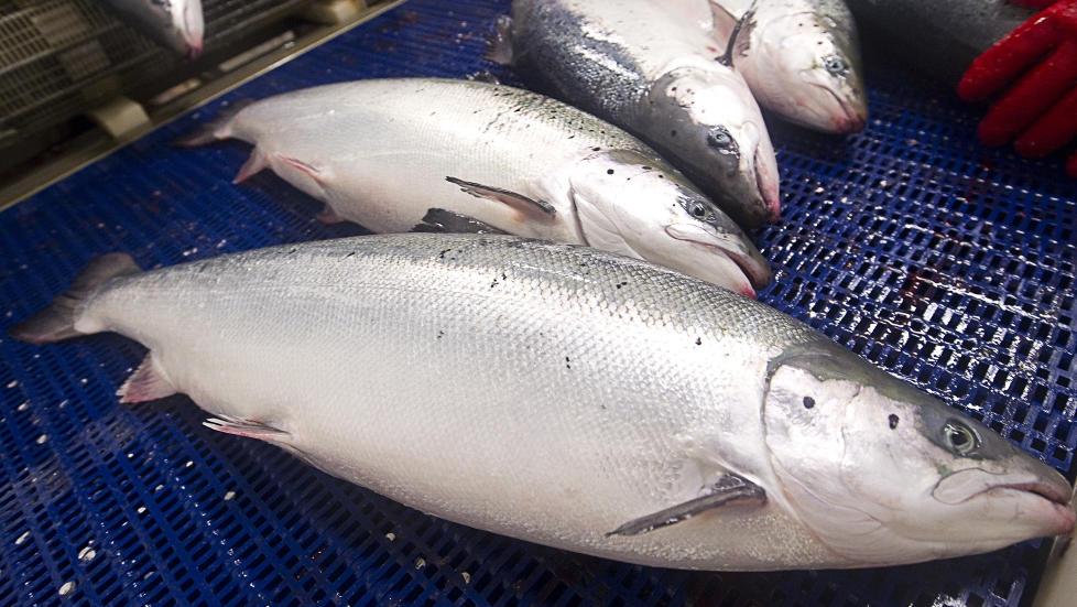 IKKE B�REKRAFTIG: Lakselus, r�mt oppdrettsfisk og utslipp er bare noe av det naturen rundt merdene sliter med, skriver artikkelforfatteren. Foto: Scanpix