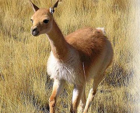 LITEN OG EKSKLUSIV: Her er vikunjaen som produserer verdens dyreste ull. FOTO: Faximile fra peruvianconnection.com