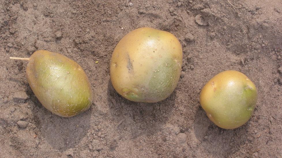 POTET: Presten hevder poteten ikke ble sittende fast etter sexleker. Foto: Wikimedia