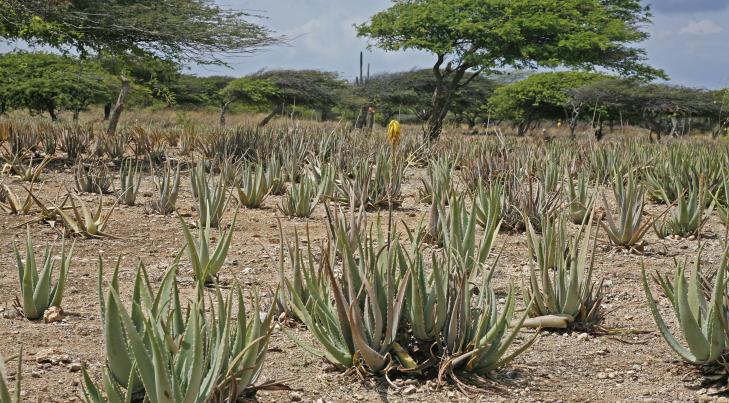PLANTASJE: Opptil ti prosent av Arubas jordsmonn er dekket av aloe vera-planter som brukes i produksjonen av �yas mange kosmetiske produkter. Foto: Eivind Pedersen