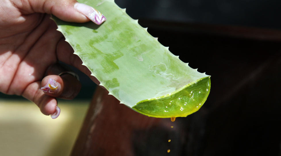 VANNDRIVENDE: Den oransje saften fra aloe vera-plantene p� Aruba er ettertraktet i kosmetikk og brannsalver. Hvis du drikker bare �n slik dr�pe, m� du g� p� do i timesvis! Foto: Eivind Pedersen