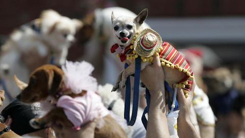 MEKSIKANSK: Med sombrero og poncho var denne hunden tydelig forn�yd kostymet. Foto: AP