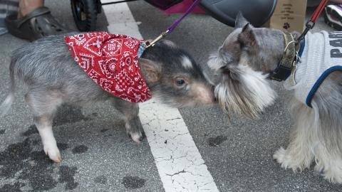 GRIS I FORKLEDNING: Dyret til venstre er faktisk ikke en hund, men er gris i forkledning. Men den fikk likevel bli med i paraden. Foto: Getty Images/AFP