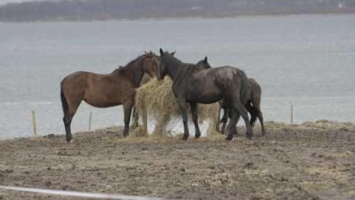SKYTES:  Noen av hestene p� Bunes g�rd torsdag. En av eierne, Asle Ryeng, varsler at han vil avlive hestene selv med slaktepistol dersom Mattilsynet p�rver � hente dem med makt. FOTO: VIDAR DONS LINDRUPSEN/NORDLYS.