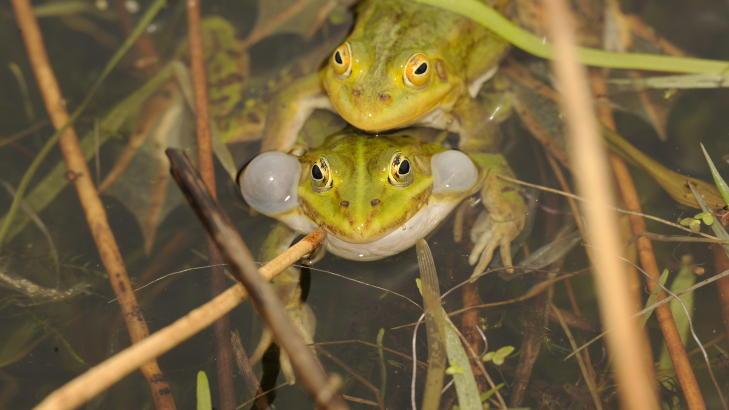 FROKSEMIKS: De gr�nne froskene p� Finn�y er b�de kontinental damfrosk Rana Lessonae og hybridfrosken Rana Esculenta. Sistnevnte har et kromosomsett fra damfrosken og et fra latterfroskene. Foto: ROGER BRENDHAGEN