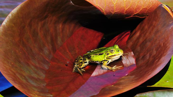 FORBUDT � INNF�RE: Mange synes det er morsomt med de gr�nne br�kemakerne, men det er strengt forbudt � innf�re nye arter i norsk natur. Foto: ROGER BRENDHAGEN