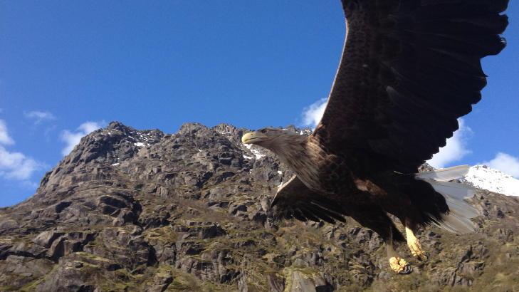 N�RKONTAKT:  �rnen fl�y nesten helt ned til b�ten. Glenn Ruben Berg var bare rundt �n meter fra den majestetiske fuglen p� det n�rmeste. Foto: Glenn Ruben Berg
