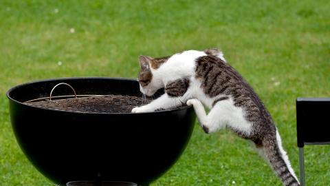 GRILLES: Studien avsl�rer - kanskje ikke helt overraskende - at det er unge hannkatter som opps�ker flest farlige situasjoner. Eldre katter og hunner er de som lever det tryggeste livet. Foto: Colourbox