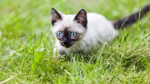 S�T, MEN FARLIG: Katter dreper langt flere dyr enn tidligere trodd, if�lge en ny studie. Om tallene stemmer, betyr det at over fire milliarder sm�dyr f�r smake kl�rne til Mons hvert �r, bare i USA. . Foto: Colourbox