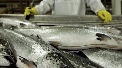 STOR INDUSTRI: Vi får i oss omega-3 i maten, særlig ved å spise feit fisk. Troen på omega-3s helsebringende effekter, har skapt en stor industri i Norge. Foto: REUTERS/Carlos Barria/Files (CHILE)