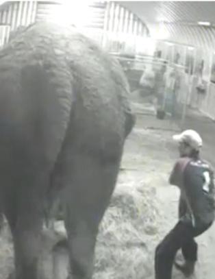 Sirkuseieren grep ikke inn da elefanten Anne (58) ble mishandlet