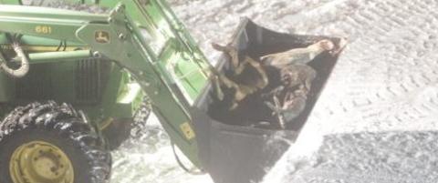 Her lemper de grisekadaver ut fra g�rden