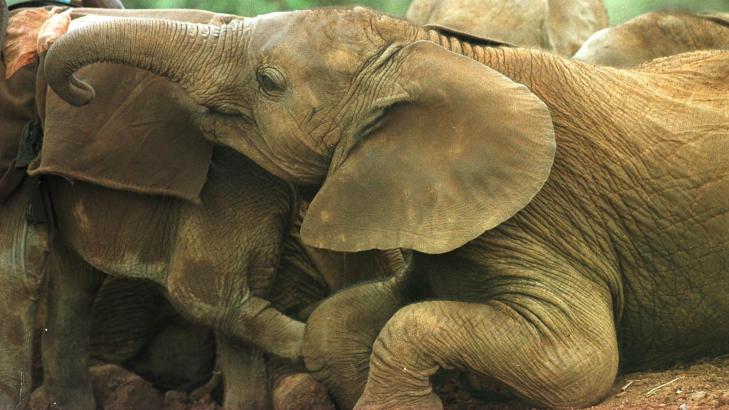 BEKYMRET: Eksperter er bekymret for elefantbestanden i Afrika. Dette bildet er fra et elefanthjem for foreldrel�se elefantbabyer i Kenya. De fleste av dem har mistet sine m�dre p� grunn av snikskyttere. Foto: AP PHOTO/SAYYID AZIM/NTB SCANPIX