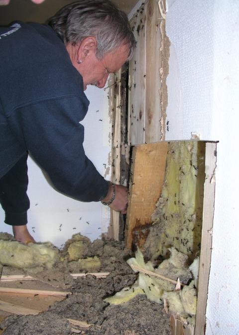 STOKKMAUR: Stokkmaur kan gj�re stor skade p� hus og hytter. Her har T�nsberg Skadedyrkontroll AS rykket ut til en bolig.  Foto: Skadedyrkontroll.biz