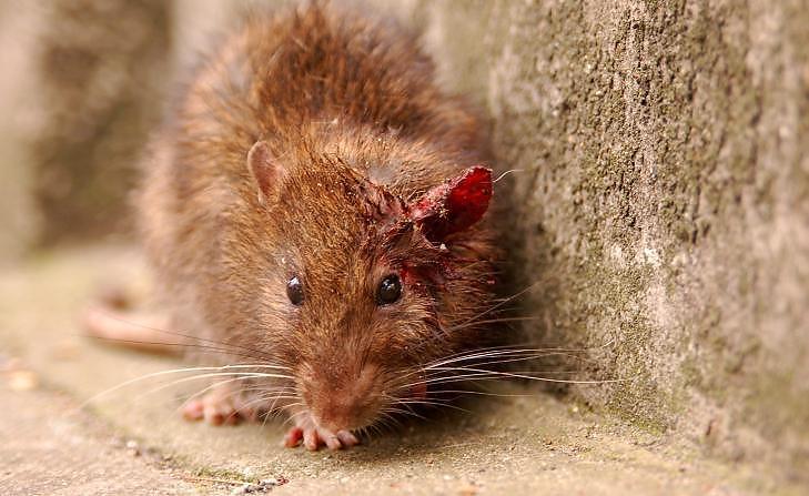 ROTTE: De fleste skadedyrrelaterte behandlinger i norske hjem er knyttet opp mot aktivitet av enten rotter eller mus. Foto: Thinkstock