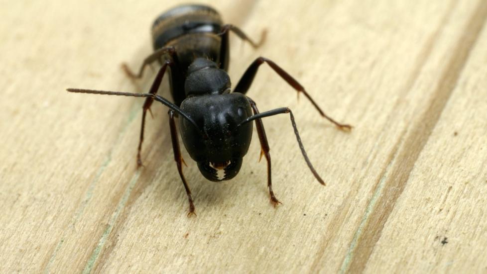 STOKKMAUR: Ser du denne lille karen i huset ditt, kan det inneb�re omfattende skader.  Foto: Thinkstock