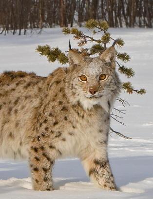 Rekordgammel gaupe (17) funnet i Finnmark