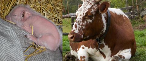 Dyrevernalliansen raser mot behandlingen av �Farmen�-dyra