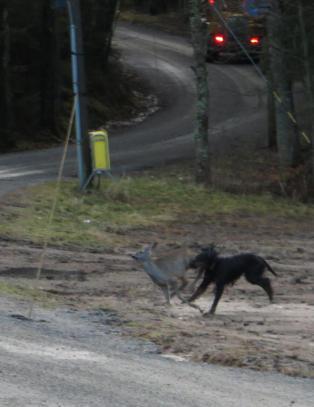 Her l�per r�dyret for livet fra l�psk hund