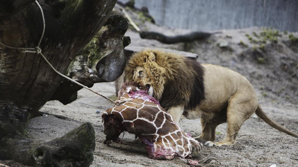 København zoo rabat amatør sex