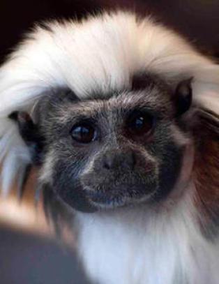 Politiet tror tyvene visste hvilke aper de skulle stjele