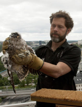Da de satte ut verdens raskeste fugler i storbyen, ble de angrepet av byens m�ker