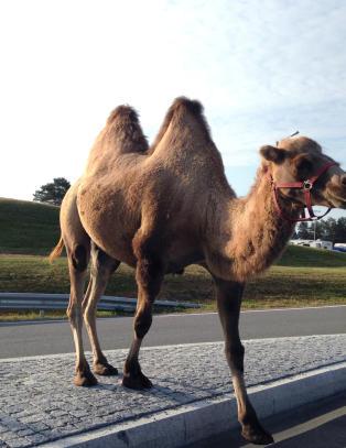 Kamel p� r�mmen i Stj�rdal