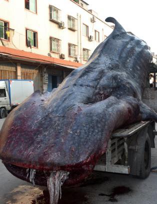 Tok verdens st�rste fisk i garnet og kj�rte den p� traktor gjennom byen