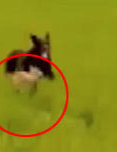 Her jages r�dyrkalven til d�de av l�se hunder
