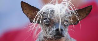 Enkelte hunderaser kan ikke lenger f�de naturlig - er avhengige av keisersnitt