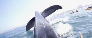 Her dykker hvalen bare noen centimeter fra Cimeron