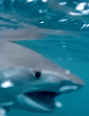 Den fryktede tigerhaien pr�ver � gjemme seg under b�ten. S� kommer det noe fra dypet og angriper