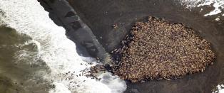 35 000 hvalrosser strandet i Alaska