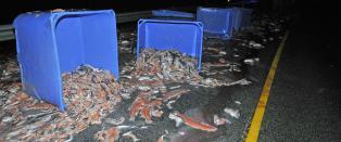 Mistet flere tonn fisk p� E39 i Hordaland