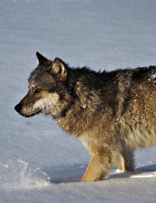 - Et timelangt program der ulven framstilles som et kosedyr